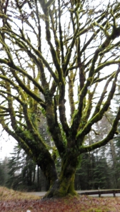 Washington Tree with Moss